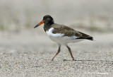Immature Oyster Catcher pb.jpg
