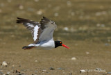 Oyster Catcher in flight pb.jpg