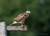 Immature Coopers Hawk 2 pb.jpg