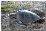 The Turtles of Playa La Flor