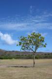 Diamond Head - Single Tree