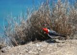 Diamond Head - Red Cardinal