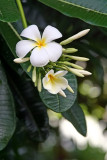 Old Lahaina Luau - Plumeria Rubra
