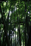 Road to Hana - Bamboo Forest
