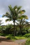 Road to Hana - Palm Trees
