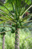 Road to Hana - Papayas