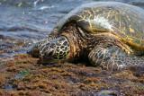 Laniakea Beach - Sleepy Turtle