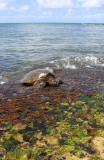 Laniakea Beach - Turtle Panorama