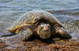 Laniakea Beach - Hello !