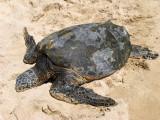 Laniakea Beach - Turtle Basking on the Beach