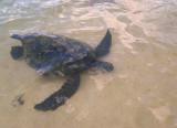 Laniakea Beach - Swimming Turtle