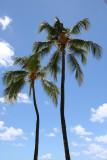 Oahu - Palm Trees