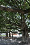 Maui - Banyan Tree