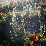 Backlit Cottongrass
