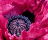Heart of a poppy