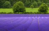 Dappled Light on the Lavender Field