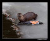 Minnesota River Otter : Snack Time