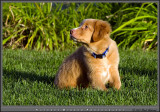 Nova Scotia Duck Tolling Retriever - Rowdy