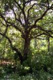 Tree in the Woods 17013.jpg