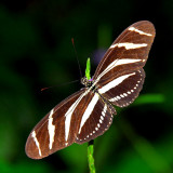 Zebra Longwing