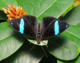 Common Olivewing