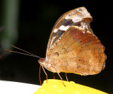 Banded Purple Wing Or Blue Wave