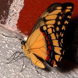 Giant Swallowtail (Tentative Identification)