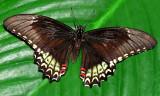Broad-banded Swallowtail