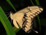 Thoas Swallowtail