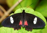 Arcas Cattleheart (female)