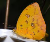 Orange-barred Sulphur