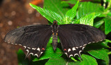 Pale-spotted Swallowtail