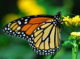 Central American Monarch (female)