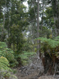 Ancient ohia forest