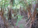 Tree Fern Understory
