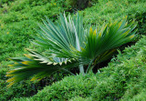 Young loulu palm
