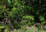 Dubautia Plantaginea