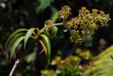 Dubautia Plantaginea Flowers