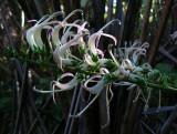 Koli'i Flowers