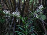 Koli'i Flowering