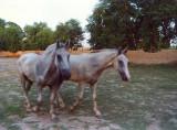 Horses walking free