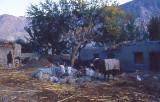 Bulls sitting in Gilgit