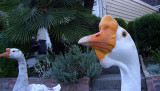 Joanne's Geese (Louis, my buddy)