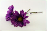 Purple Daisies*by photocat37 (inspired by Stacy R.)