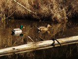 ducking into the weeds by Bev Brink