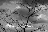 Tree of Thorns