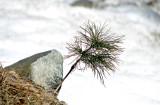 9th: Snow Tree*  by Hawkeye978