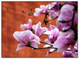 Blossoms on Brick  by pengu1n