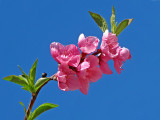 Peach Blossoms Divineby lac111