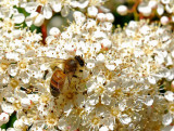 Bee in Bed of Blossomsby lac111